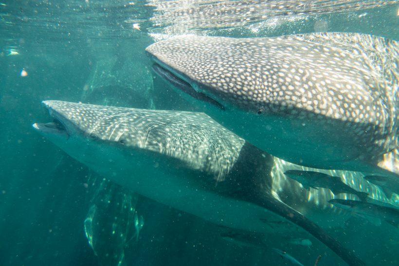 hiu whaleshark